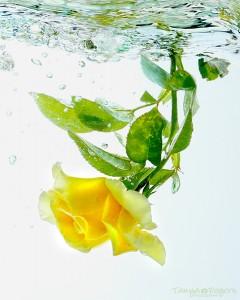 Yellow-Rose-Underwater